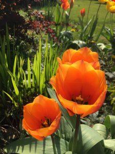 Tulips in Ian's garden