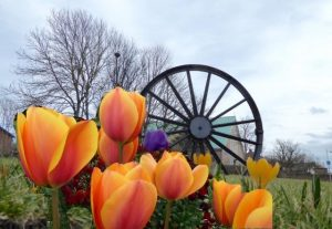Photograph of tulips in front of the Pit Wheel. The tulips are actually superimposed and are actually ones in the photographers own garden