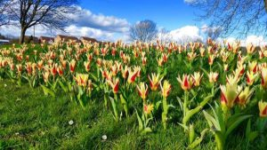 Photographs of tulips on the south village green. This was their first showing in around 206