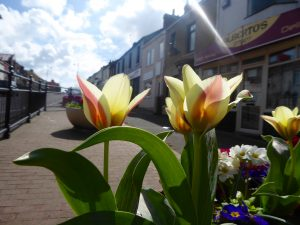 Photograph of tulips in Front Street. the tupis are in a planter in the foreground