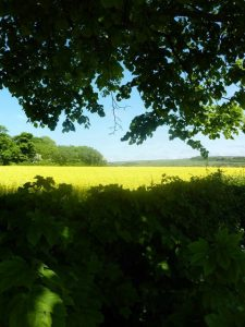 Photograph of field on edge of village before it was built on. photograph is shaded in trees with bright yellow field, a blue sky and shaded foreground