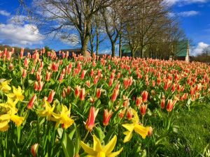 Photograph of tulips in bloom, hundreds of them taken about 2016. They look very beautiful in their reds and yellows and a deep blue sky