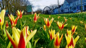 Photograph of tulips in bloom taken at low level and very colourful April 2020