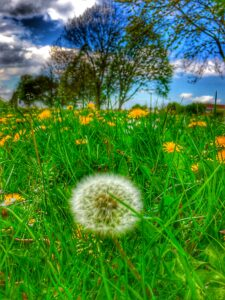 dandelions in high definition effect