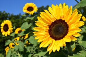 Photograph of bright yellow sunfloers with a bright blue sky in background