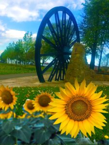 Photograph of sunflowers with the pitwheel behinds