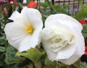Water drops with two white flowers