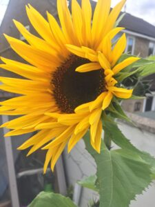 Close up of large sunflower in full bloom summer 2020